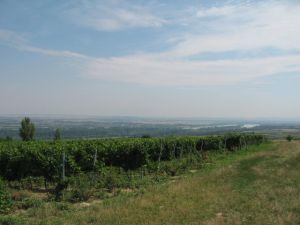 vineyards in Hungary overlooking the Danube