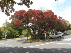 The New Zealand blooming Christmas tree